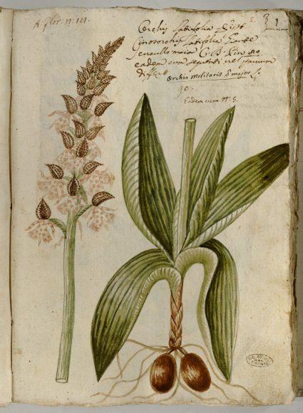 Pier Antonio Micheli - Ms 21 Orchidum Agri Florentini Icones - Riproduzione riservata