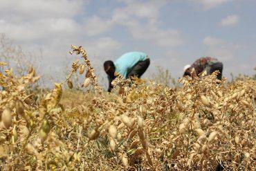 Foto realizzata nell'ambito dell' Agricultural Value Chain Project in Oromia del Dipartimento di Scienze per l'economia e l'impresa