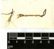 Il campione essiccato conservato nell'Erbario della Malesia - foto Università di Firenze