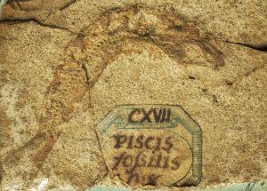 Un reperto delle collezioni paleontologiche del Museo di Storia naturale