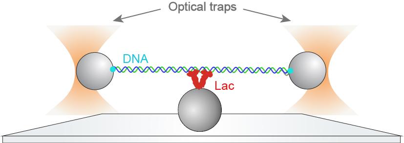 Uno schema che rappresenta l'esperimento