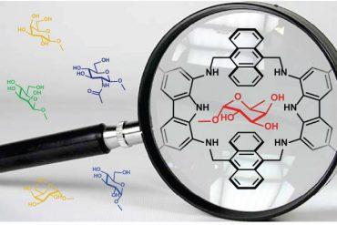 Rappresentazione schematica del complesso fra recettore artificiale e fucosio