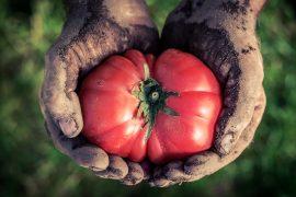 contadino mani pomodoro foto per Mangiare sicuro o sicuro di mangiare?
