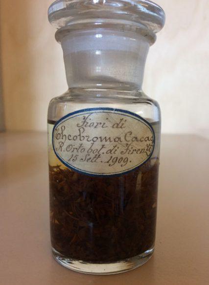 Fiori di Theobroma cacao Orto Botanico (da Botanica per Mostra Il cacao tra gusto dell'esotico e bevanda dell'animo)