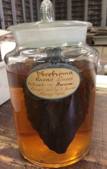 Frutto di cacao riportato dal Borneo da Odoardo Beccari (da Botanica per Mostra Il cacao tra gusto dell'esotico e bevanda dell'animo)