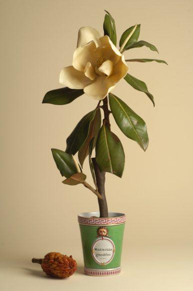 Magnolia grandiflora_modello in cera (da Botanica_per Mostra Fragili tesori dei principi)