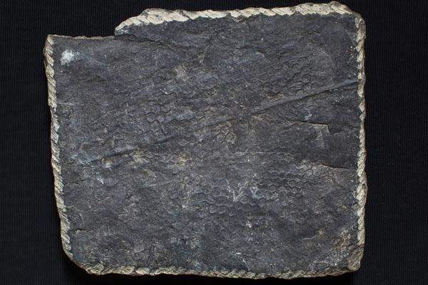 Paleodictyon_traccia di piccoli organismi marini  su una pietra serena del Monte Ceceri (da Paleontologia per la Mostra sul Codice Leicester di Leonardo da Vinci)