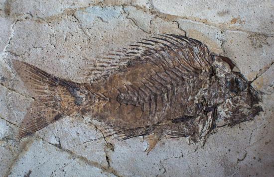 pesce fossile di Bolca ( da Paleontologia per la Mostra su Leonardo)