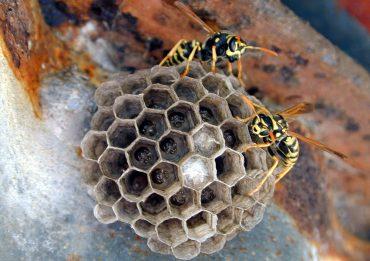 La colonia di una vespa cartonaia (Polistes dominula) usurpata da una femmina del parassita sociale (Polistes sulcifer) , in alto a sinistra