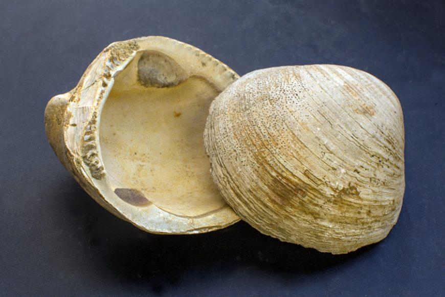Glycymeris bimaculata (Museo di Storia Naturale)