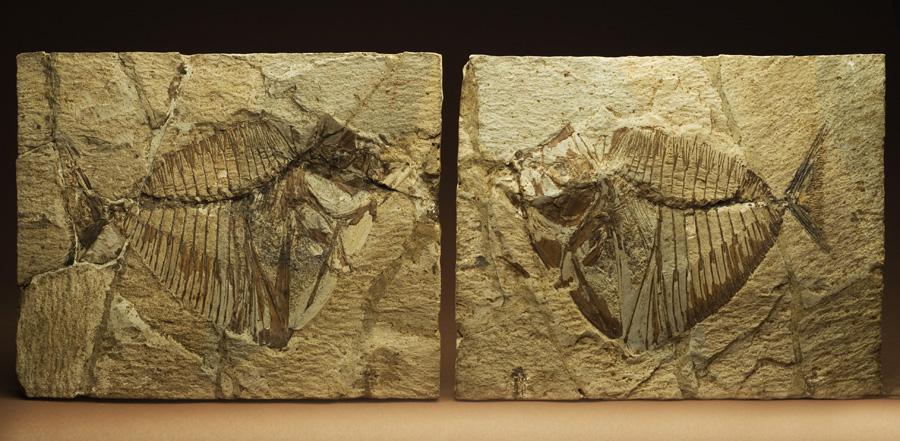 Mene Rhombea, spoglie di un pesce fossile, da Bolca (Museo di Storia Naturale). Leonardo elaborò una teoria sull'origine dei fossili come resti di vita di antichi mari