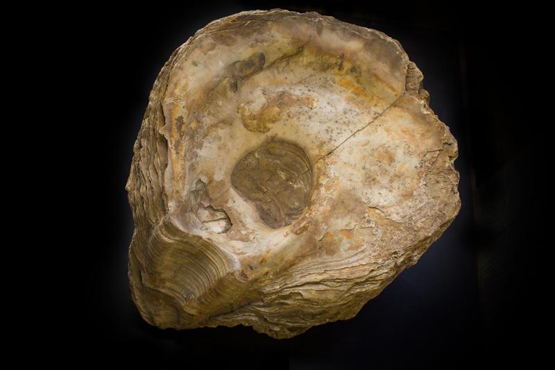 Ostrea edulis (Museo di Storia Naturale)