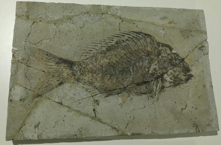 Sparnodus - Museo di Storia Naturale