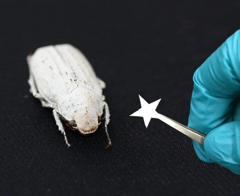 Il nuovo materiale (di cui è costituita la piccola stella nella foto) a confronto con il coleottero del genere Cyphochilus