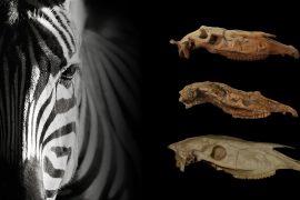 Crani in vista laterale di Equus simplicidens, Equus stenonis e Equus grevyi