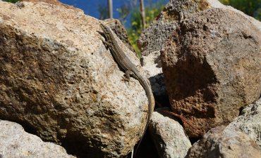 Lucertola di Lataste - Isola di Ponza - Foto di Michel Delaugerre - Riproduzione riservata