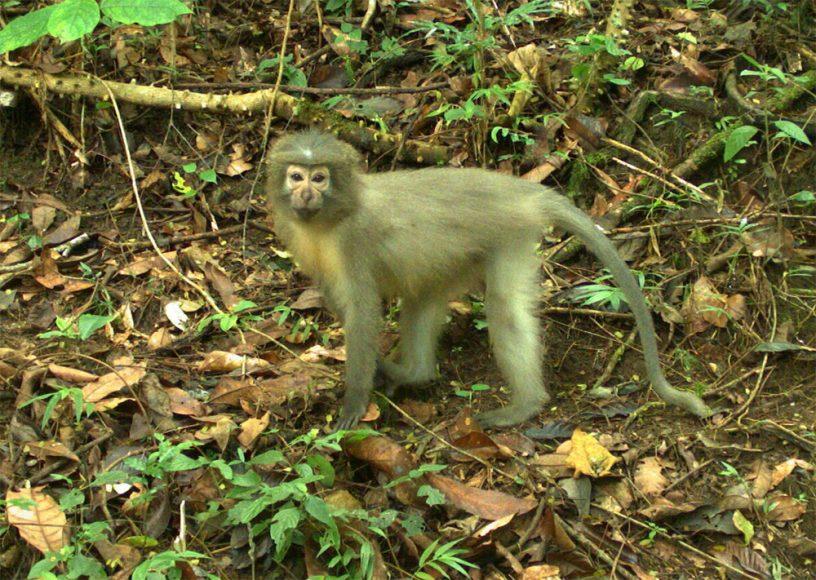 scimmia terragnola - Tanzania