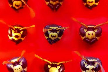 Variabilità del pattern di colorazione del clipeo - la parte centrale della faccia - nelle vespe cartonaie Polistes dominula: può essere completamente giallo o attraversato trasversalmente da una barra nera o con uno o più puntini neri - foto Rita Cervo