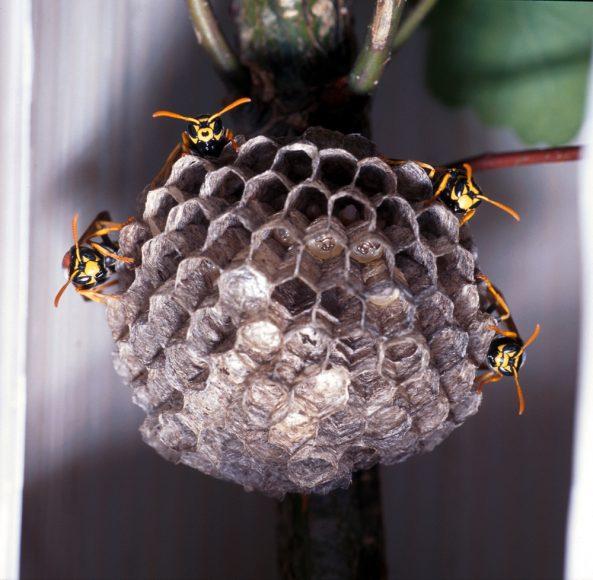 La variabilità del pattern di colorazione del clipeo tra le vespe, in una fase iniziale del ciclo della colonia - foto Rita Cervo