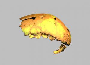 ricostruzione digitale del cranio di Homo erectus in norma laterale sinistra