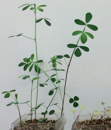 La simbiosi leguminosa-batterio: piante inoculate con rizobi (a sinistra) e piante senza rizobi (a destra).