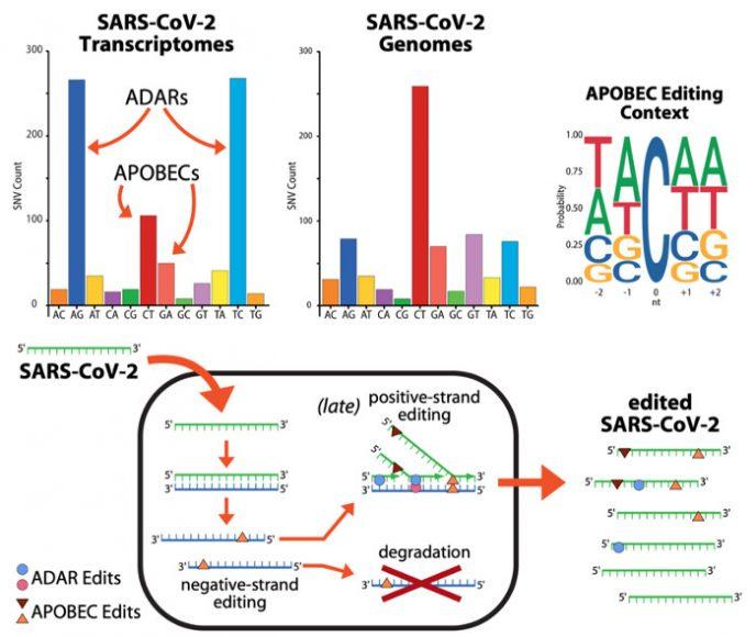 Nei grafici superiori, tra le mutazioni nei trascrittomi e nei genomi virali, sono evidenziate le mutazioni dovute agli ADAR e agli APOBEC, ed il particolare tipo di editing dovuto agli APOBEC. Nello schema inferiore è descritto un modello di come potrebbero agire gli ADAR e gli APOBEC durante la replicazione del virus.