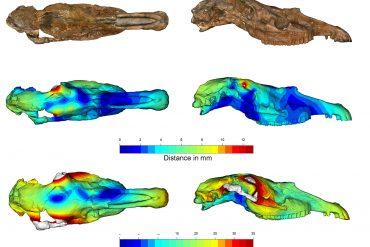 Scansione 3D del cranio tipo di Equus stenonis con i nuovi modelli retrodeformati