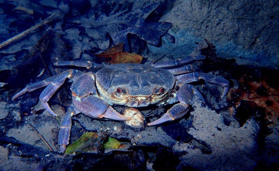 Crostacei autoctoni: granchio di fiume - Foto Nicola Fortini - riproduzione riservata