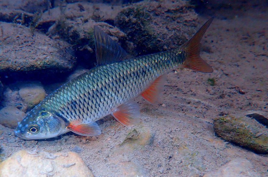 Pesci autoctoni: rovella - Foto Nicola Fortini - riproduzione riservata