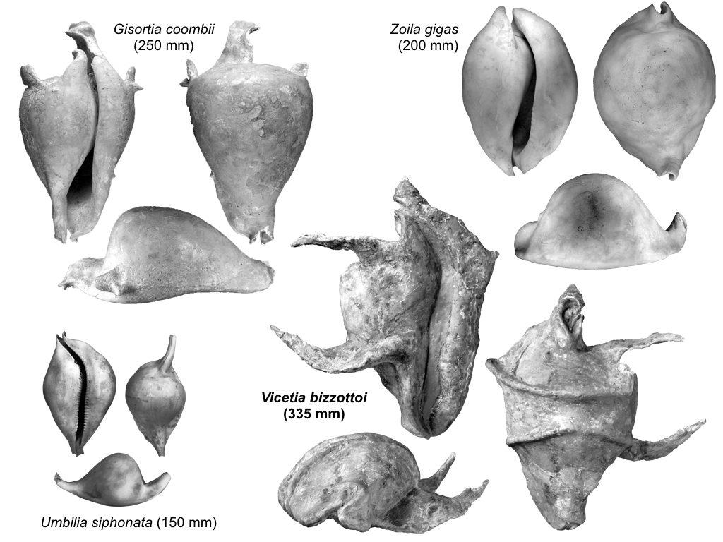 La ciprea Vicetia bizzottoi in confronto ad altri esemplari - Foto Scientific Reports