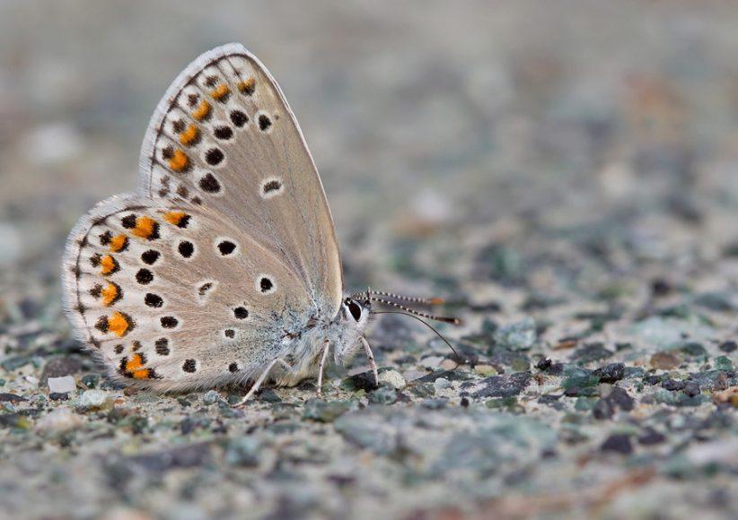 Kretania trappi, foto di paulcools