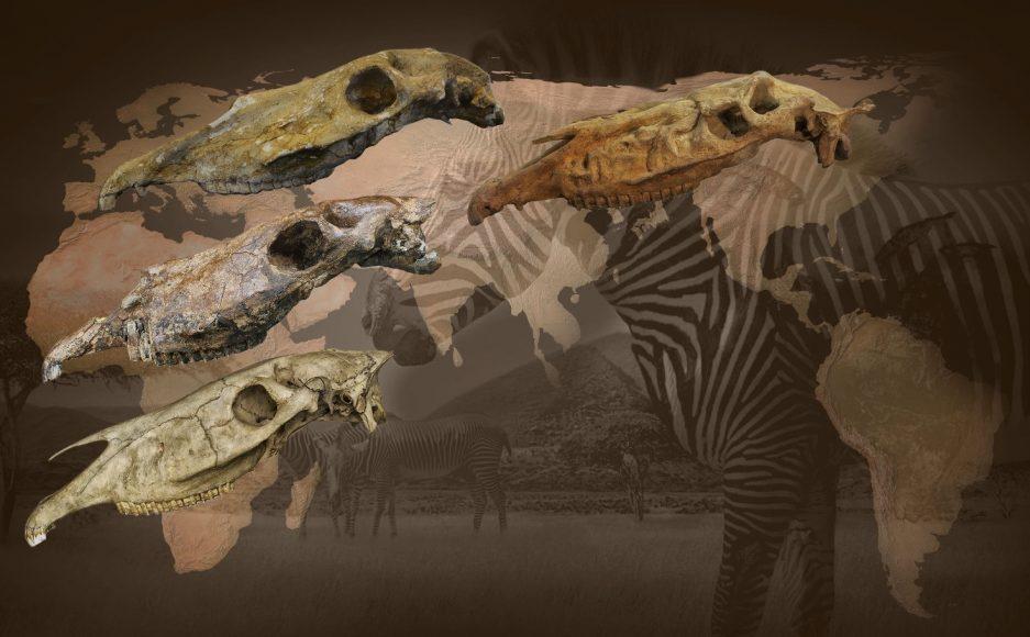 Evoluzione delle zebre attuali (in basso a sinistra) attraverso le specie fossili del Nord America (Equus simplicidens, a destra), Eurasia (Equus stenonis, sinistra in alto) e Africa (Equus koobiforensis, sinistra al centro)