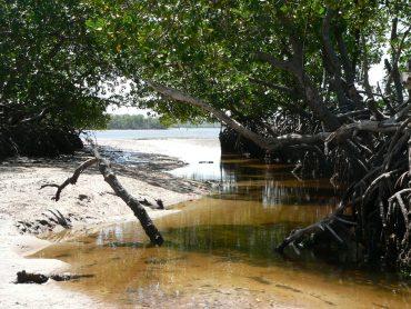 mangrovieto mangrovie