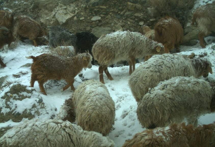 Armenti per lana da cashmere (Foto MUSE/UNIFI)