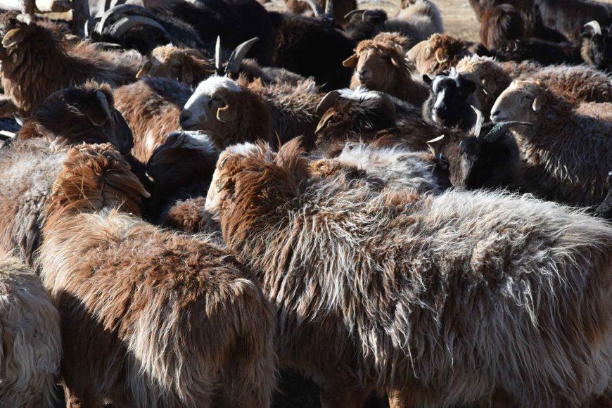 armenti per lana da cashmere (foto Francesco Rovero)