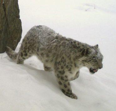 leopardo delle nevi pericolo cashmere