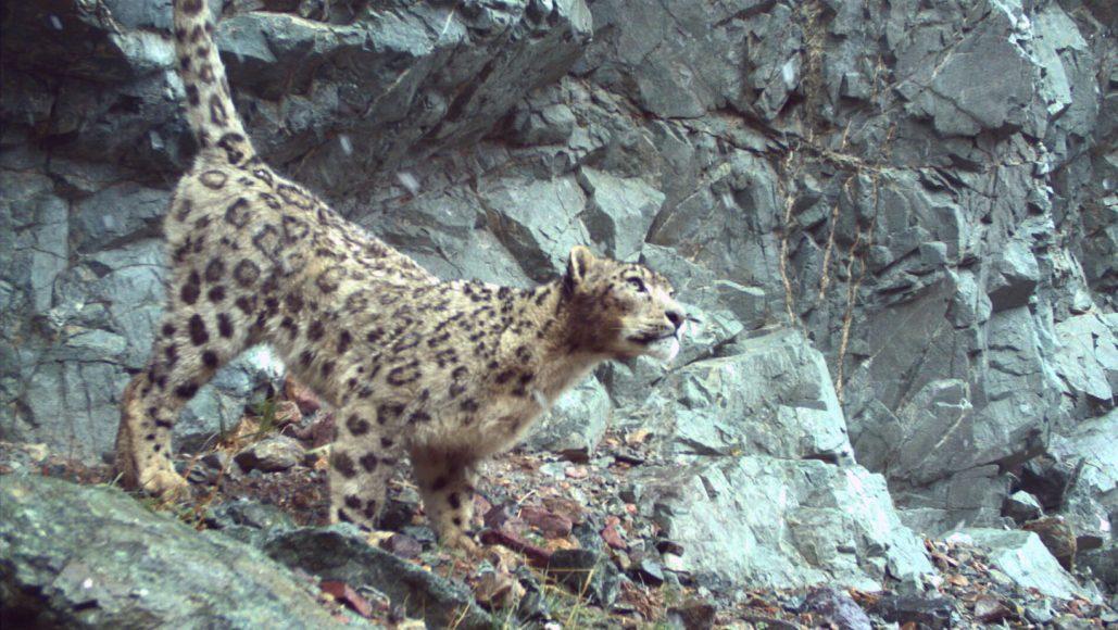 leopardo delle nevi (foto MUSE/UNIFI)